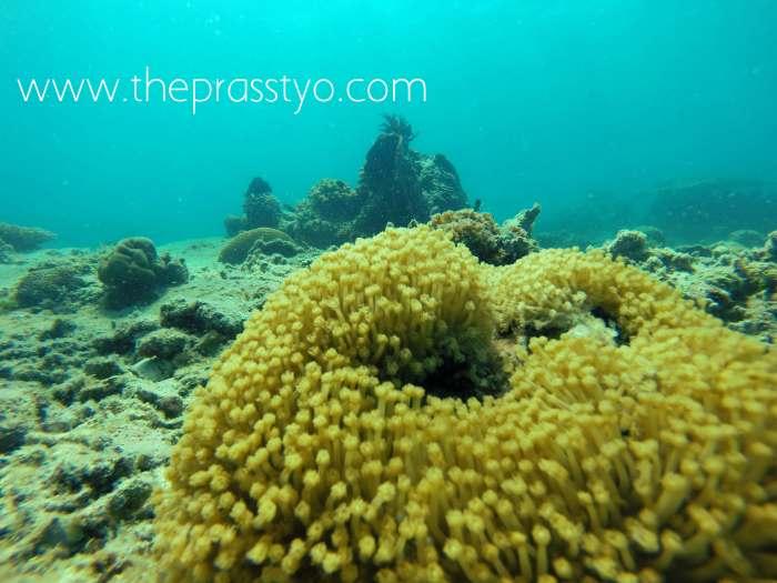 Corals 1